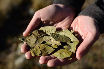 Coca Leaves, Dried coca leaves