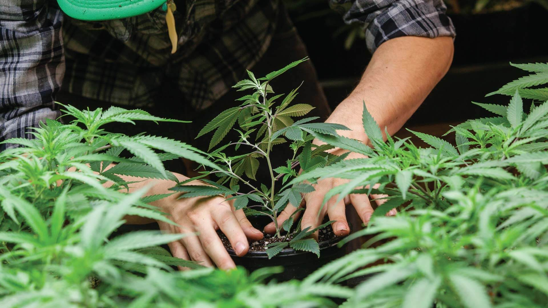 Careers in Cannabis Farming