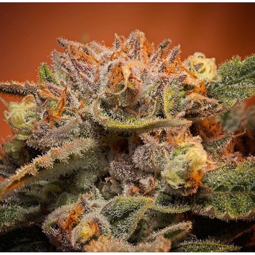 california-orange-bud-feminized-seeds