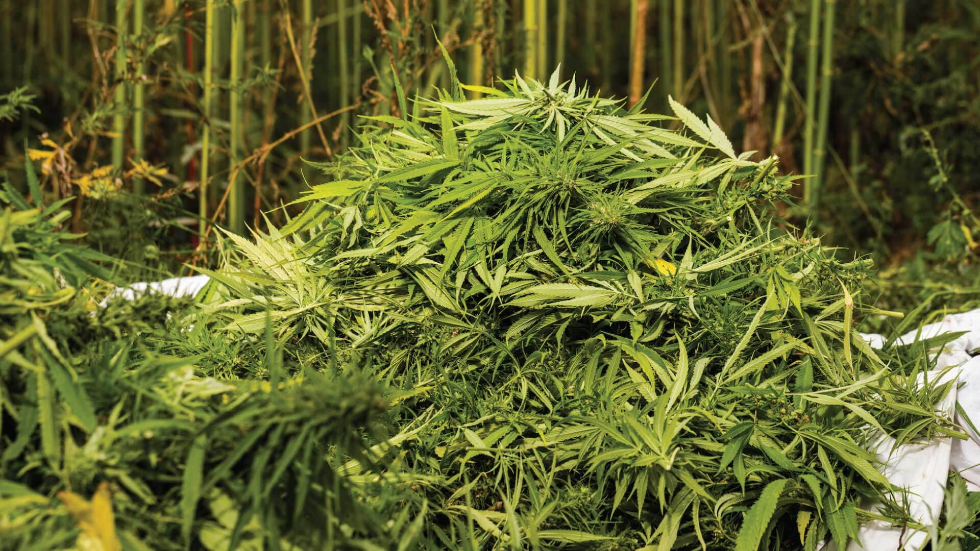 The world's top cannabis producing countries