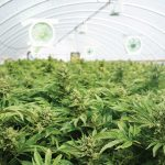 Can cannabis be certified organic?