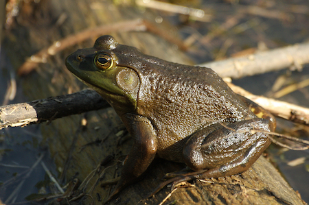 male frog, carbon footprint