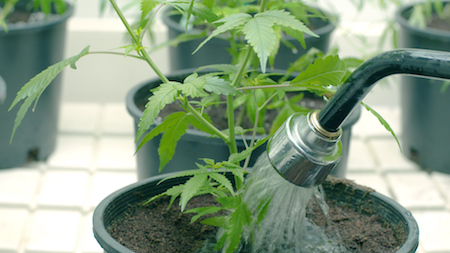 outdoor cannabis water
