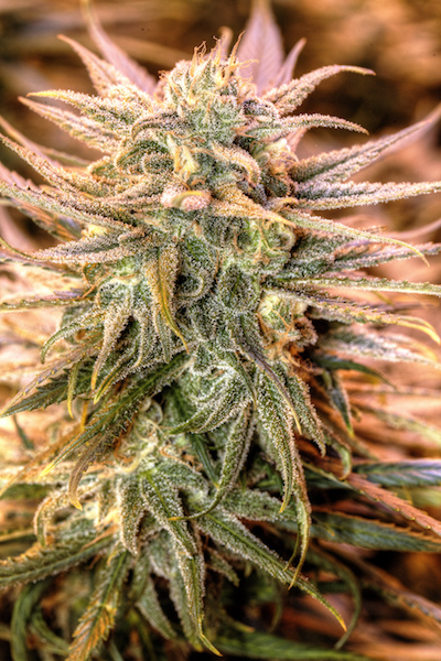 blue dream cannabis plant, blue dream a very popular cannabis strain