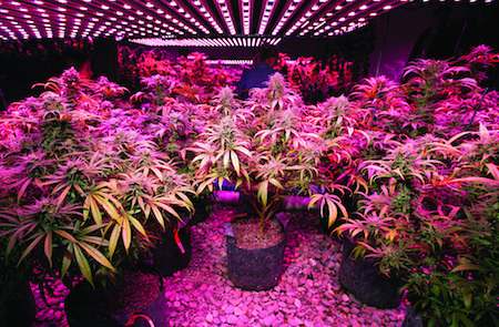 LED lights for cannabis sustainability