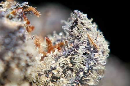 trichomes on a cannabis nug