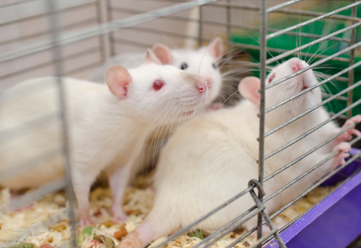 Three laboratory rats in a cage, selective focus on one of the rats