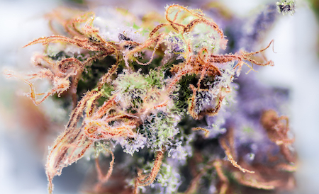 cannabis strains for fall