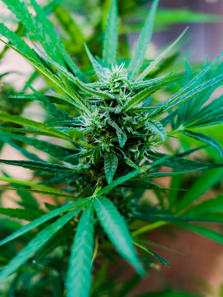 common names for cannabis