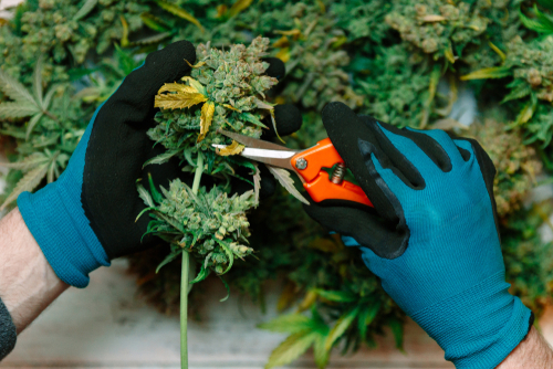 The average lifecycle of your cannabis depends on what strain type you're growing