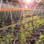 Follow these tips for growing your own weed
