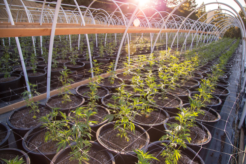 High stress training is more common in outdoor grows