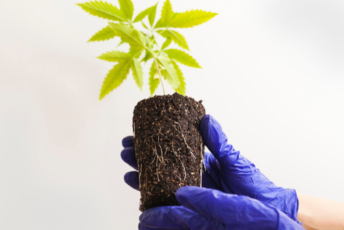 Make sure you buy healthy clones for growing