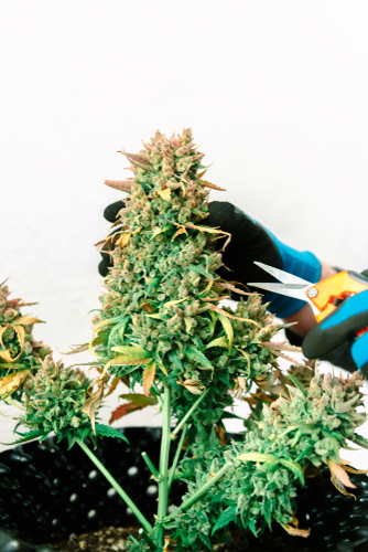 Why you should trim your weed