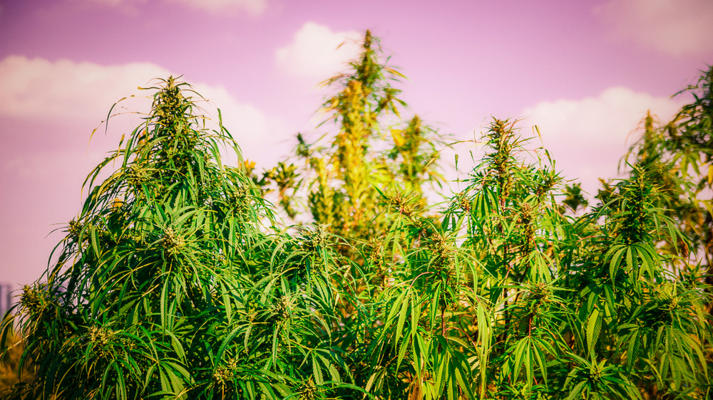 These are the best strains to maximize your yields