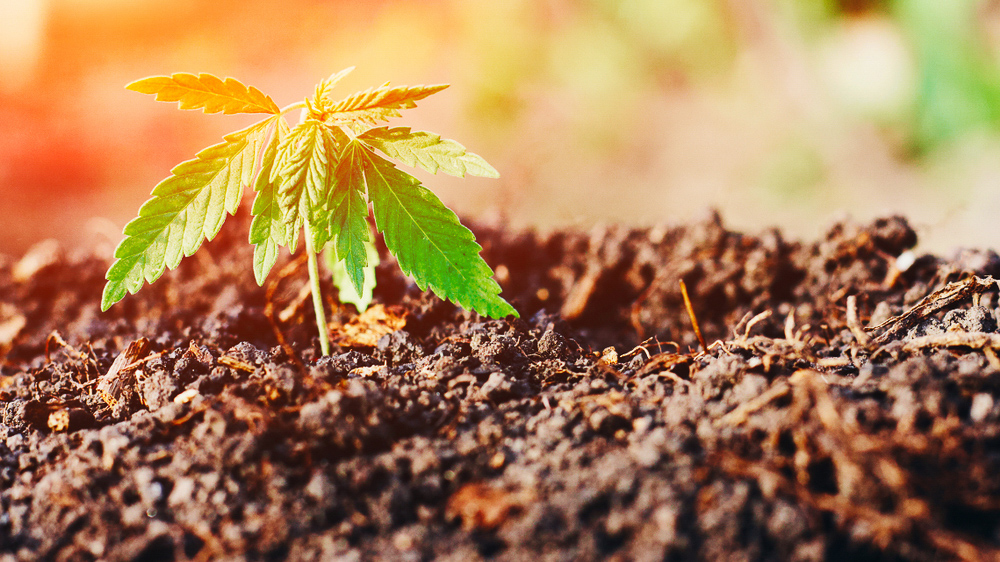 Baby marijuana plant emerging through the soil