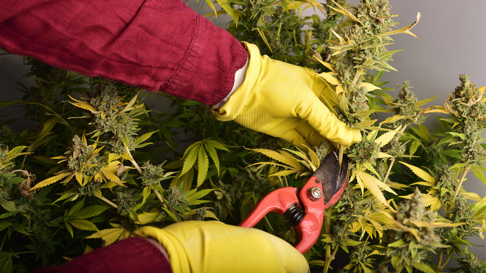 How to trim your weed