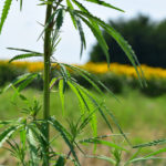 Young cannabis plant in a field