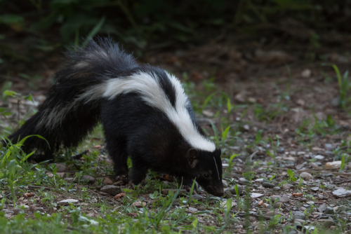 picture of a skunk