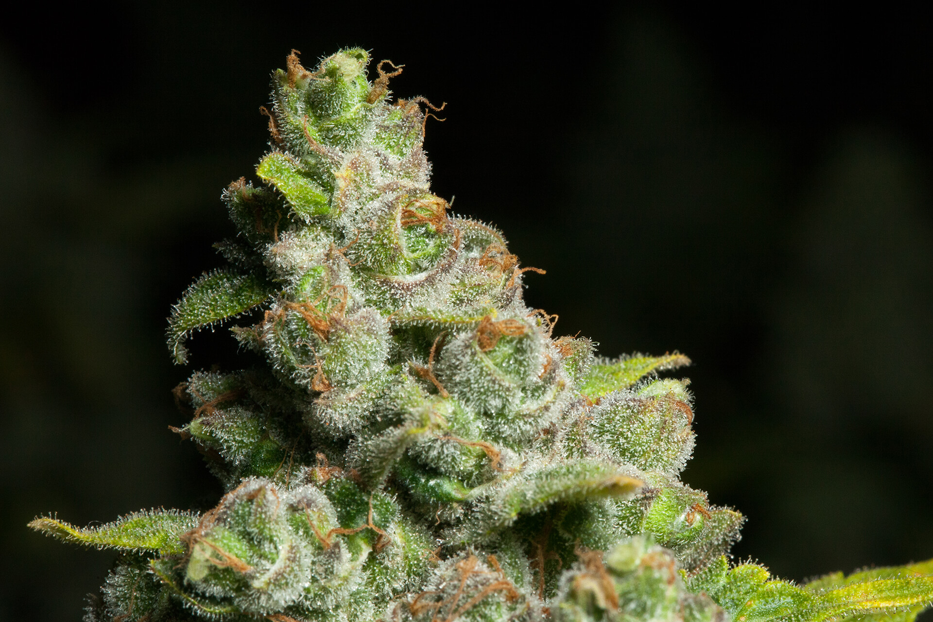 Up close shot of Blueberry Headband strain