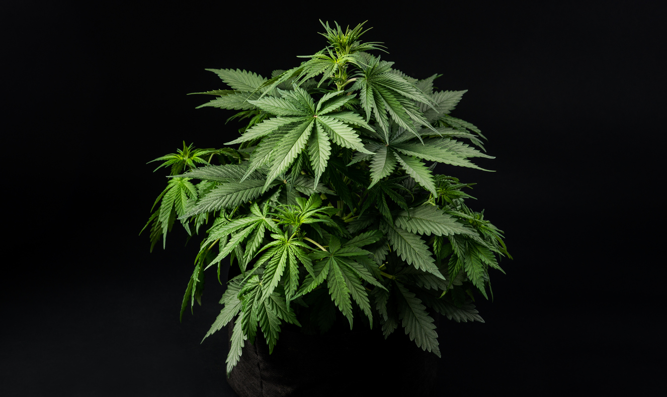 cannabis cultivation in a dark room, black background potted marijuana plant, medical cannabis