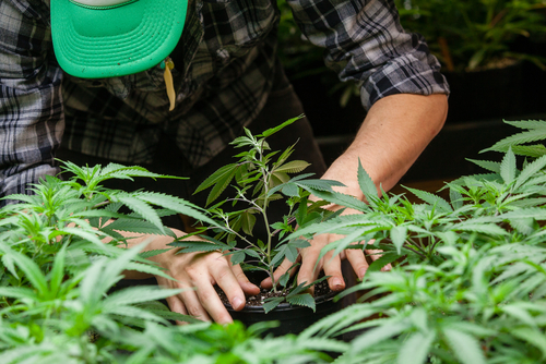 Cannabis farmer potting new plant