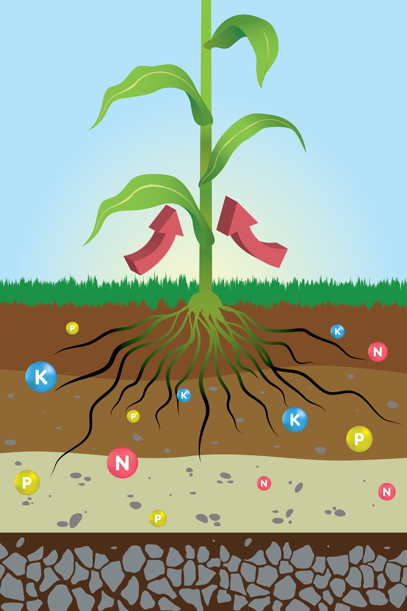 How plants absorb Phosphorous, Potassium and Nitrogen