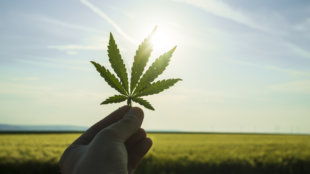Cannabis leaf against the sky. hand holding a marijuana leaf on a background of blue sky.