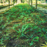 Cannabis growing under a canopy.