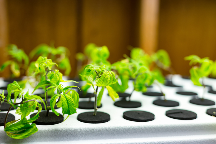 Small medical marijuana seedlings at a medical marijuana grow operation.
