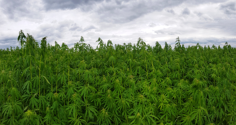 cannabis leaves on a marijuana farm