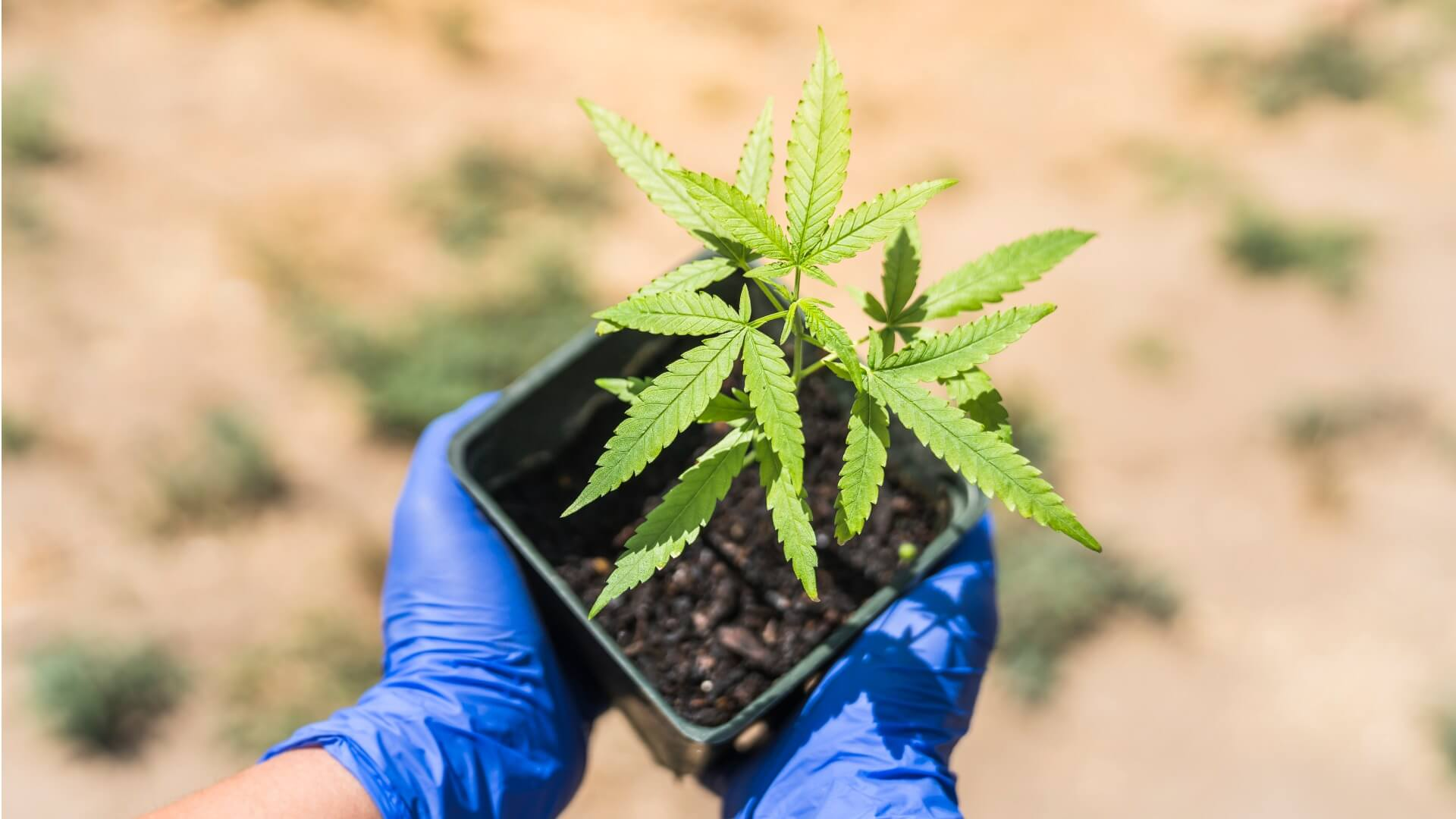 Cloning your cannabis