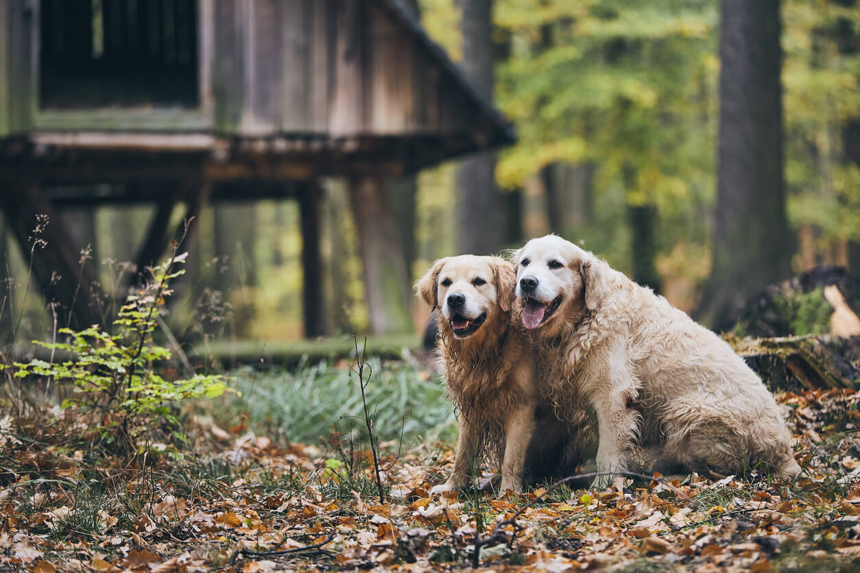 Old golden retrievers