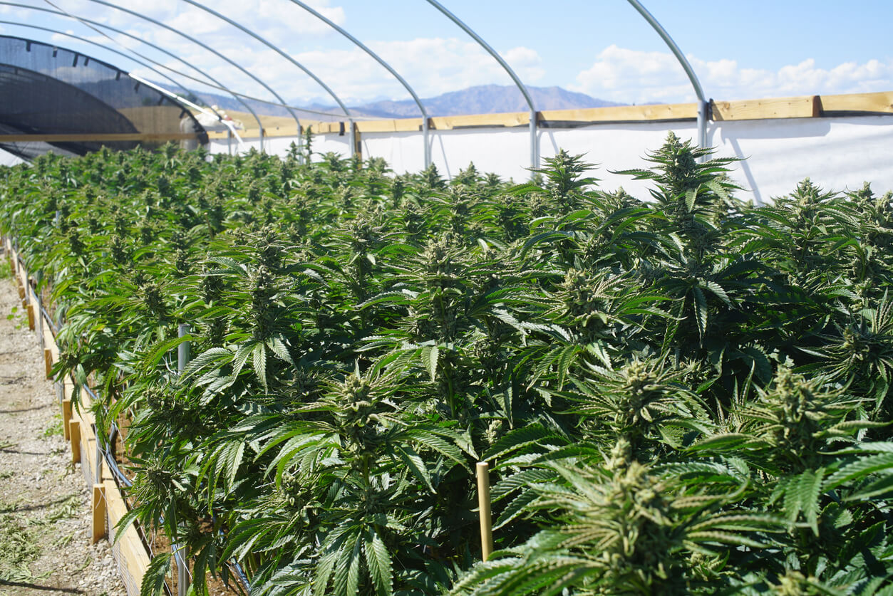 Outdoor Bright Greenhouse Full of Mature Marijuana Plants. Agricultural Farming of Legal Weed