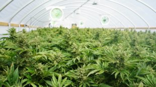 Marijuana plants in a cannabis farm.
