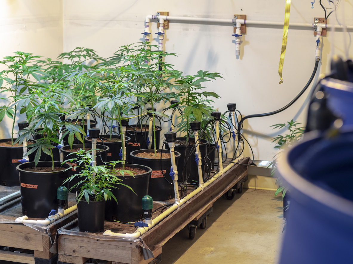 cannabis irrigation system