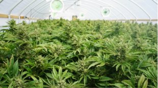 marijuana farm, oversupply