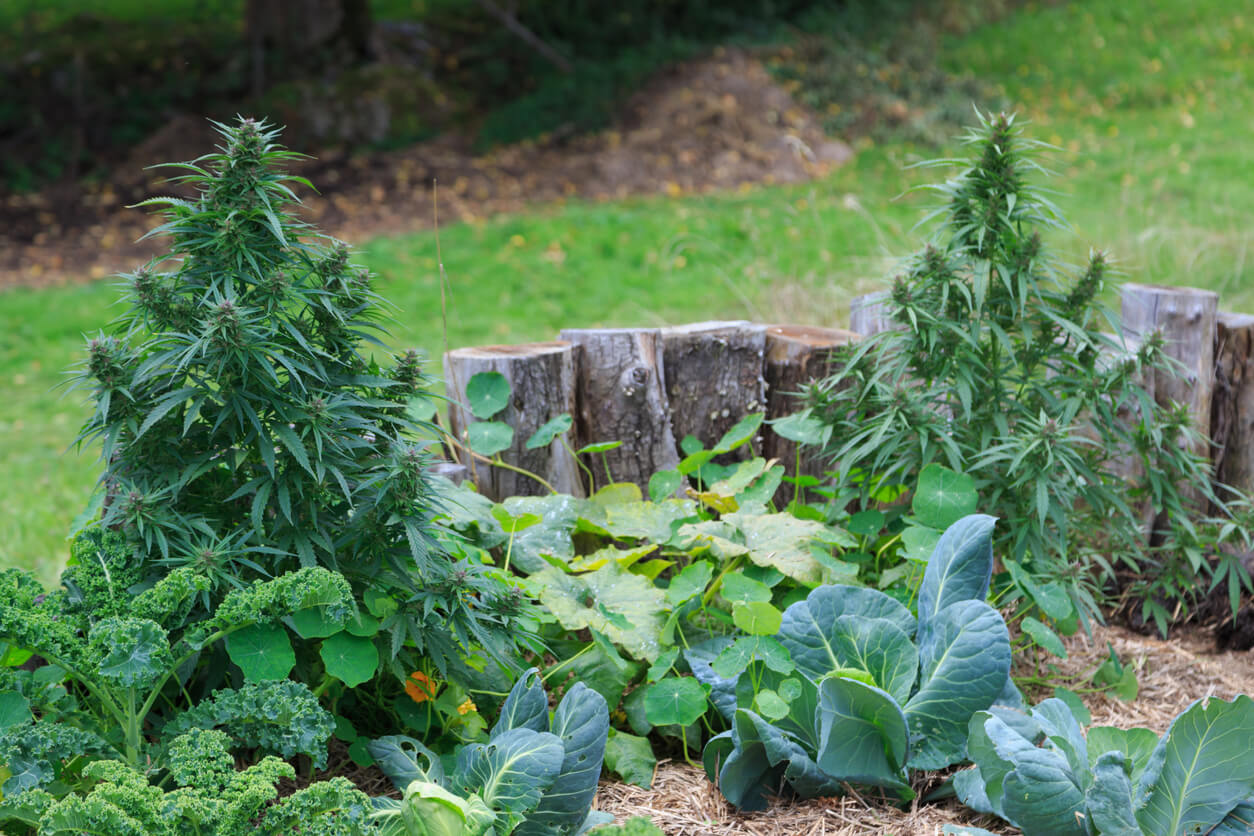 A photograph of a Cannabis plant in a garden. Cannabis has long been used for hemp fibre, for hemp oils, for medicinal purposes, and as a recreational drug. Industrial hemp products are made from Cannabis plants selected to produce an abundance of fiber. Cannabis plants produce a group of chemicals called cannabinoids, which produce mental and physical effects when consumed.