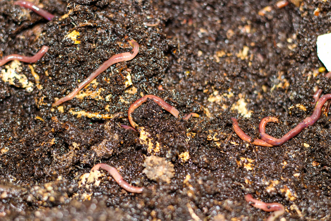 vermicompost with worms