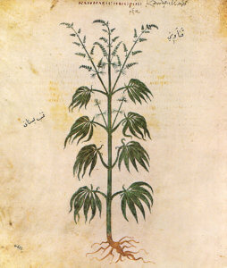 Ancient drawing of the cannabis plant
