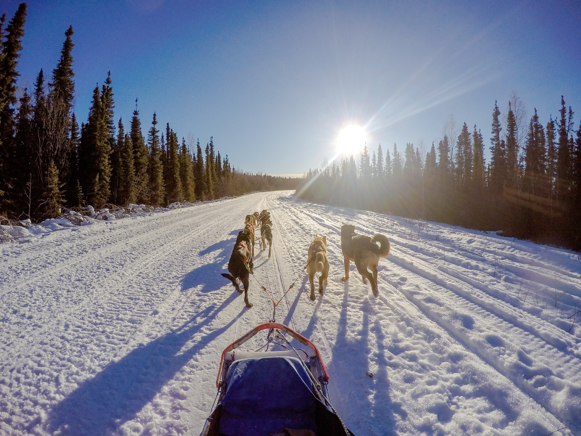 Sled dogs in Alaska