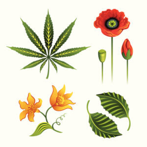 Illustration of cannabis, mint, vanilla, poppy