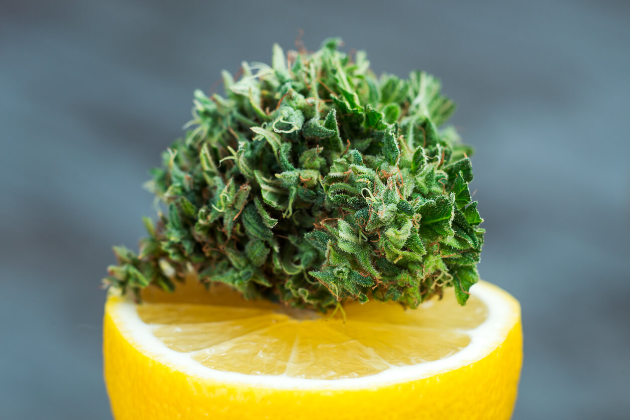 popular aromatic lemon scents of cannabis in the US state, photos of marijuana on a lemon close-up. pharmacy cannabis and Netflix