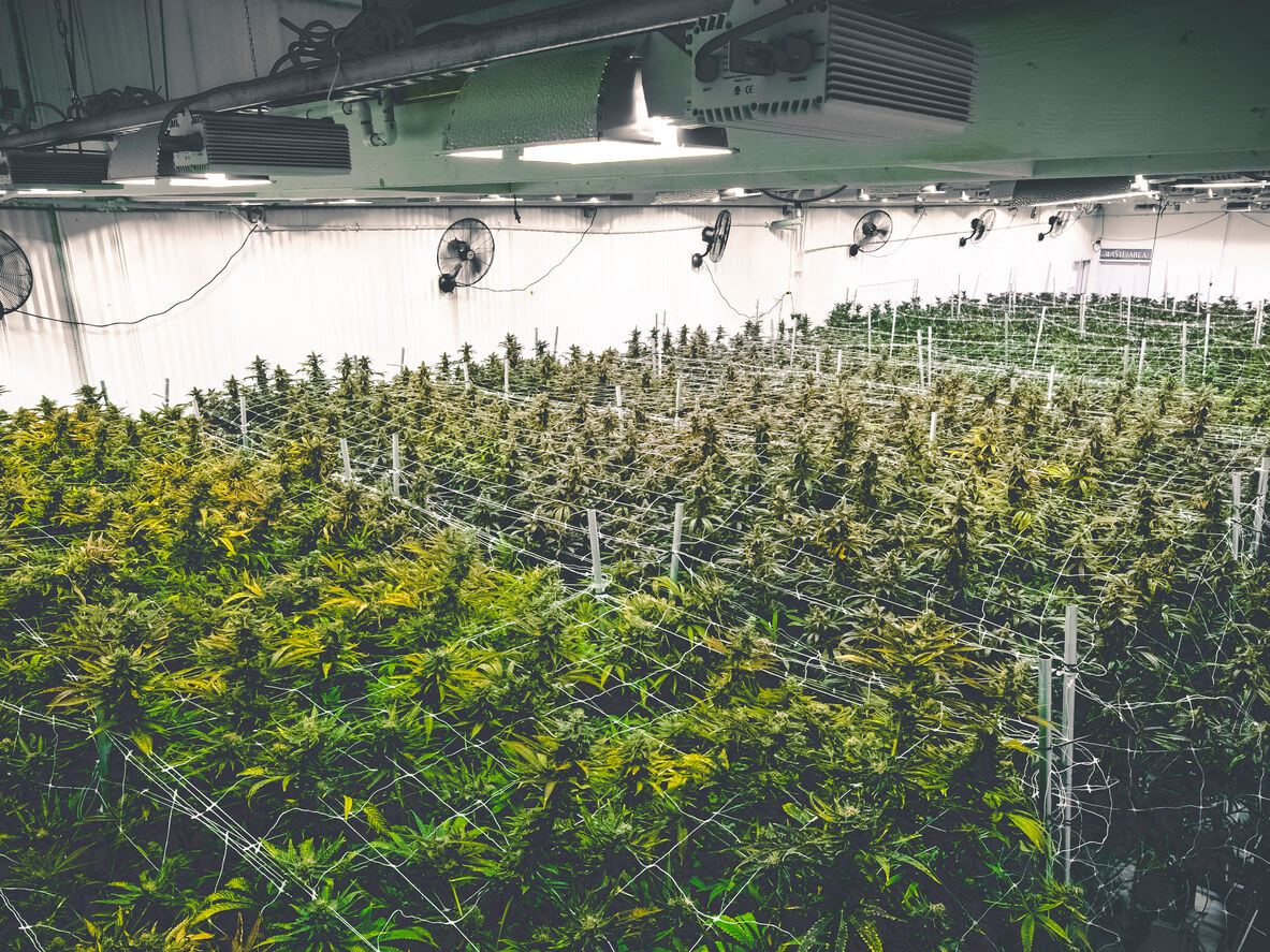 Commercial cannabis facility background with field of natural medicine stylized by flat vintage filter