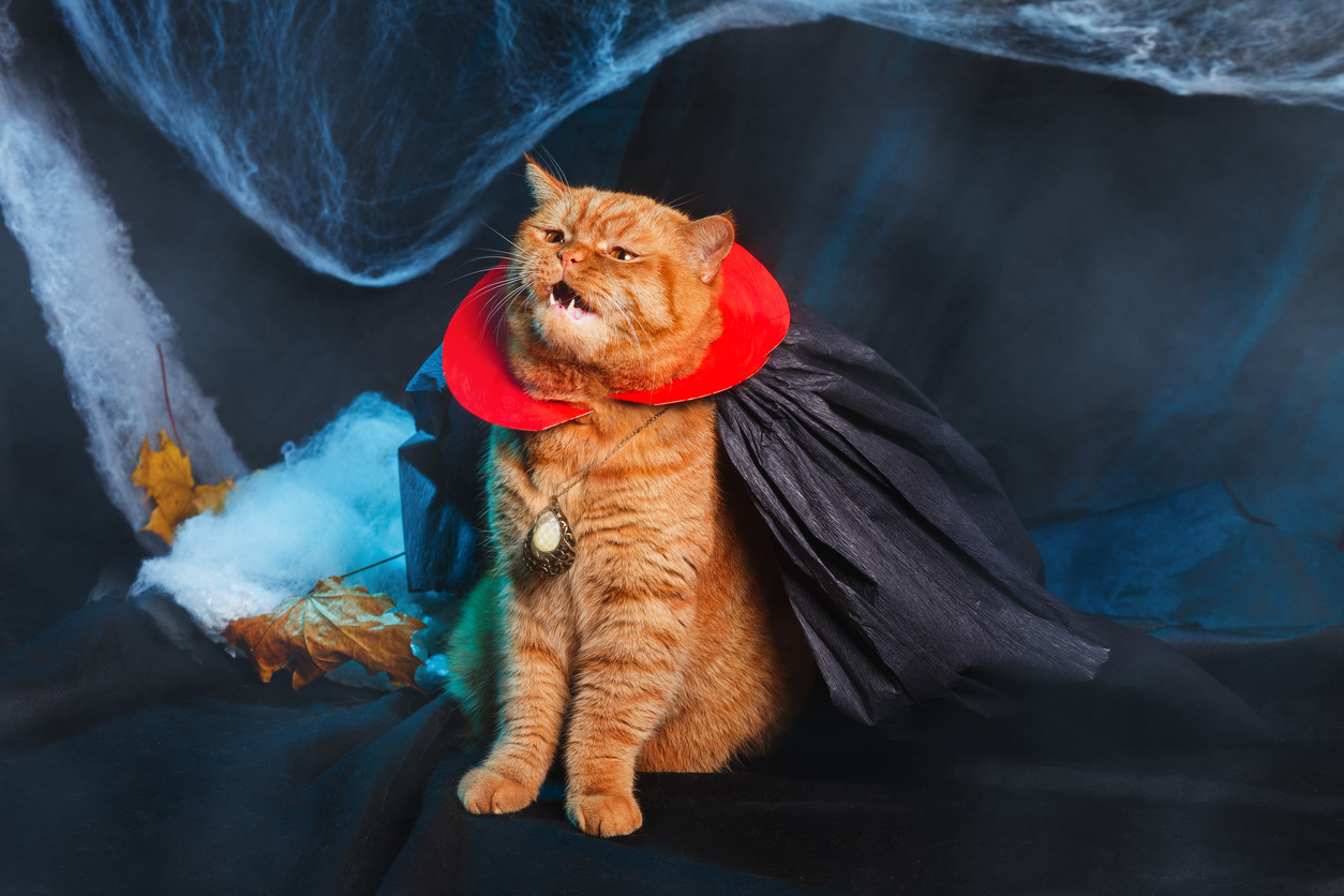 Red Cat vampire on black background. Halloween theme.