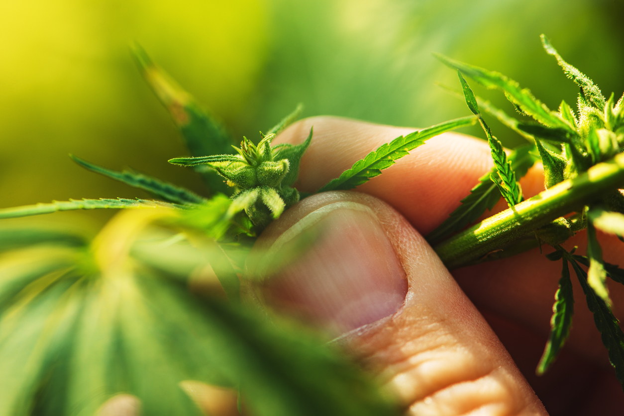 Farmer is examining cannabis hemp male plant flower development, extreme close up of fingers touching delicate herb part