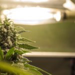 nutrients for growing cannabis