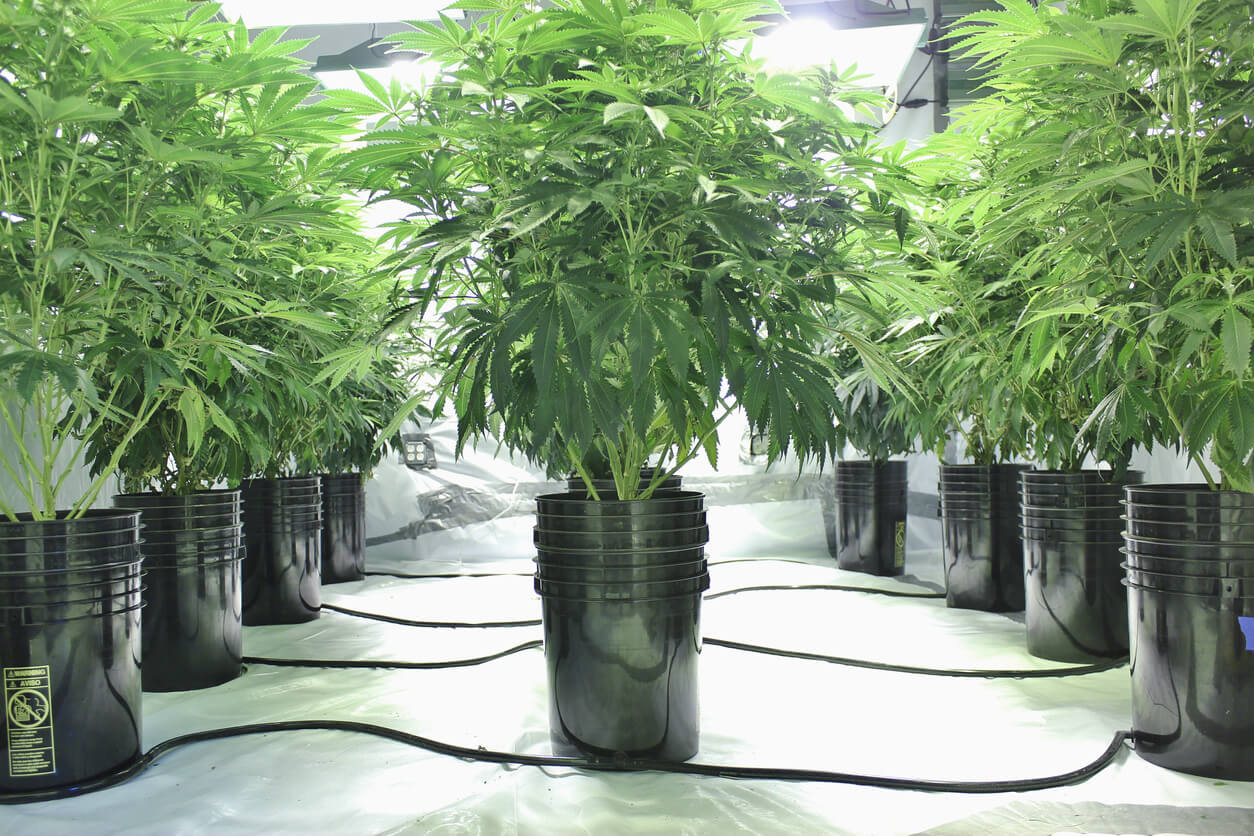 This photo from Michigan shows neat rows of marijuana plants growing in black pots, connected by tubes to create a hydroponic growing system. The plants are lush and green. The plants are arranged symmetrically in the horizontal shot to create a central row with equal sides; additionally, green occupies the top half and black pots/white flooring compose the bottom. This photo could be used to depict either legal or medical marijuana cultivation.