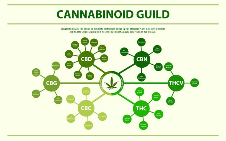 Cannabinoid guide horizontal infographic, healthcare and medical illustration about cannabis