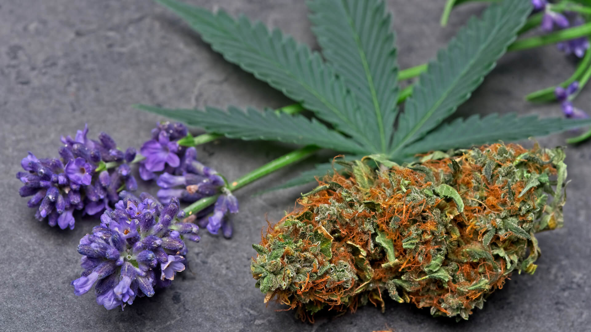 Closeup of a lavender flower next to a cannabis leaf and bud